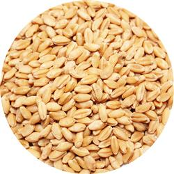 Wheat - Clean